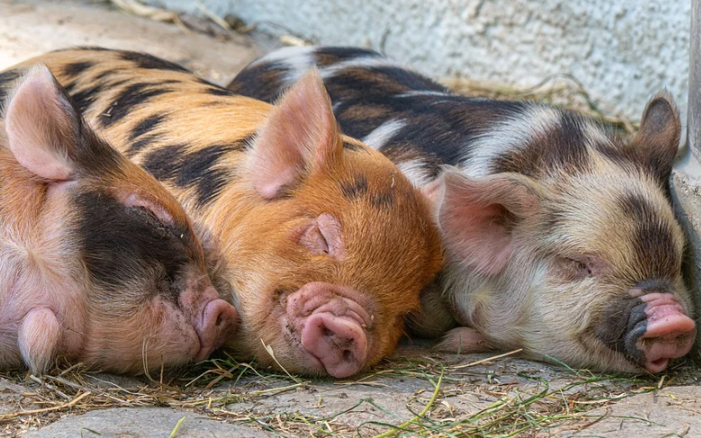 Более чем на 7% увеличилось поголовье свиней в животноводческих хозяйствах Нижегородской области - фото 1