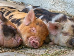 Более чем на 7% увеличилось поголовье свиней в животноводческих хозяйствах Нижегородской области