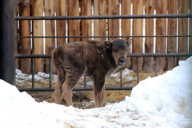 Зубр и гиббон родились в зоопарке Нижнего Новгорода - фото 2