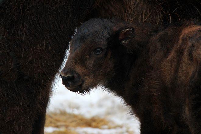 Зубр и гиббон родились в зоопарке Нижнего Новгорода - фото 3