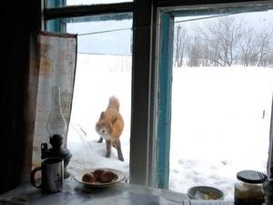 В нижегородских деревнях стали чаще встречать диких лисиц