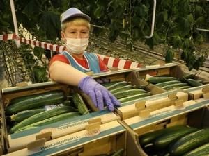 Первый урожай выращенных под искусственным светом огурцов собрали в Нижнем Новгороде