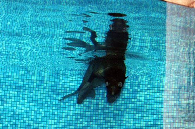 Северный морской котик Зонтик прибыл в нижегородский зоопарк - фото 2