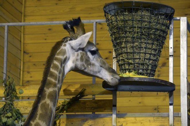 Жираф Радуга из нижегородского зоопарка отметила первый юбилей - фото 5